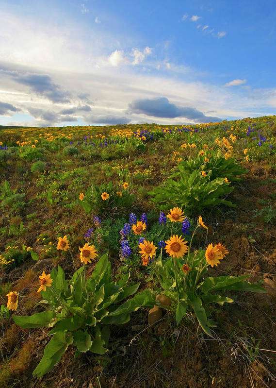 Wildflowers Art Print featuring the photograph Purple And Gold by Mike Dawson