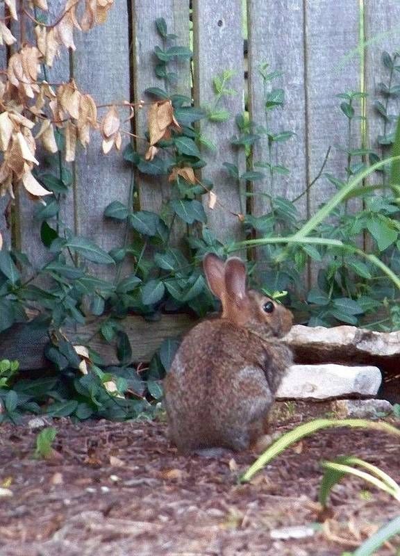 Rabbit Art Print featuring the photograph Rabbit by Charles Robinson