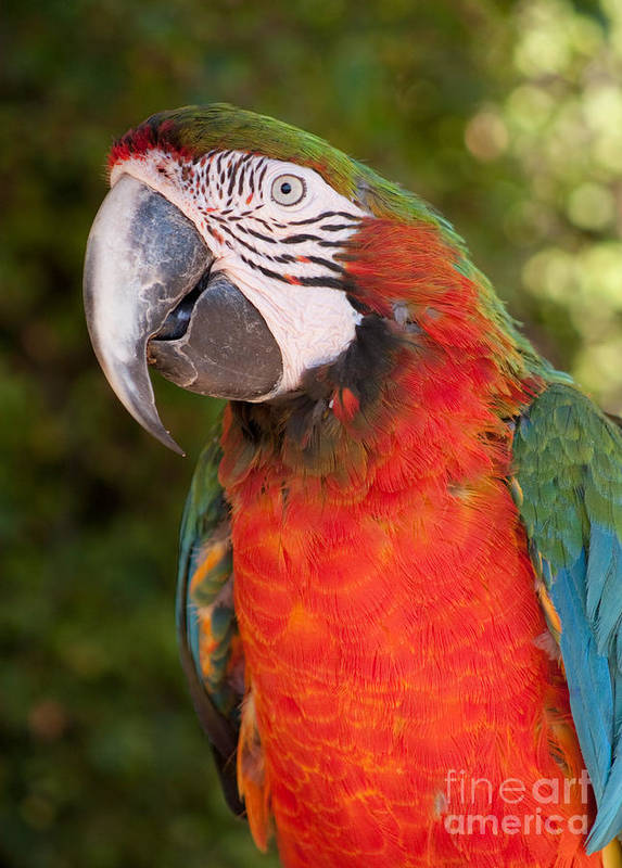 Ara Art Print featuring the photograph Red-and-green Macaw by Svetlana Ledneva-Schukina