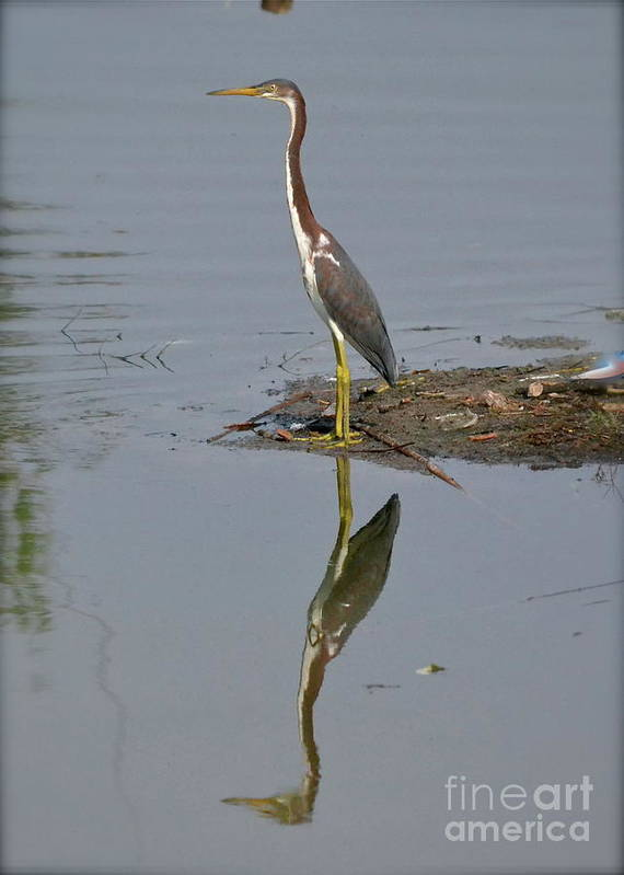 Heron Art Print featuring the photograph Reflecting Heron by Carol Bradley