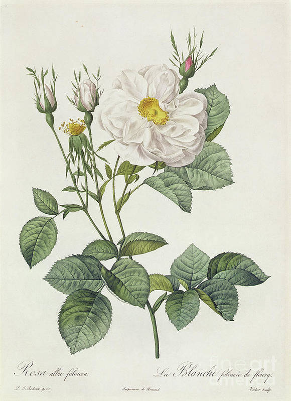 Rosa Art Print featuring the drawing Rosa Alba Foliacea by Pierre Joseph Redoute