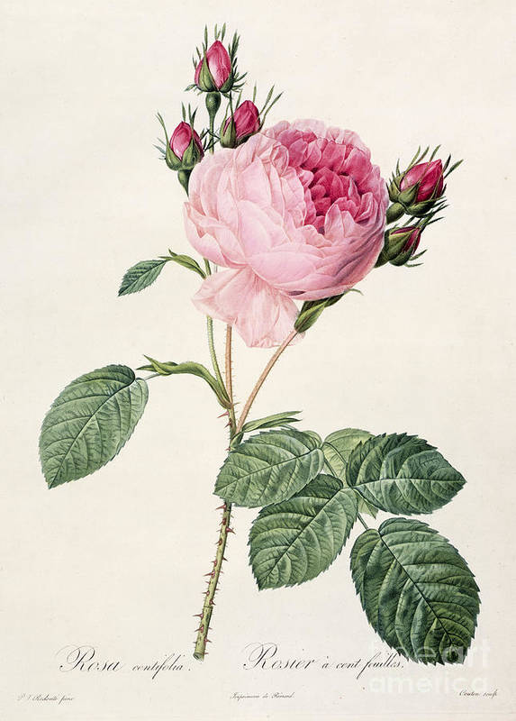 Rosa Art Print featuring the drawing Rosa Centifolia by Pierre Joseph Redoute
