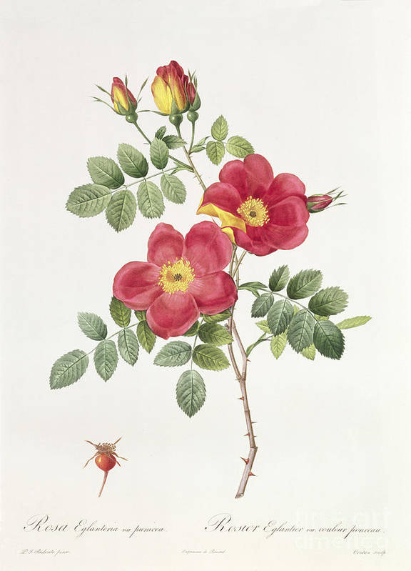 Rosa Art Print featuring the drawing Rosa Eglantera Punicea by Pierre Joseph Redoute