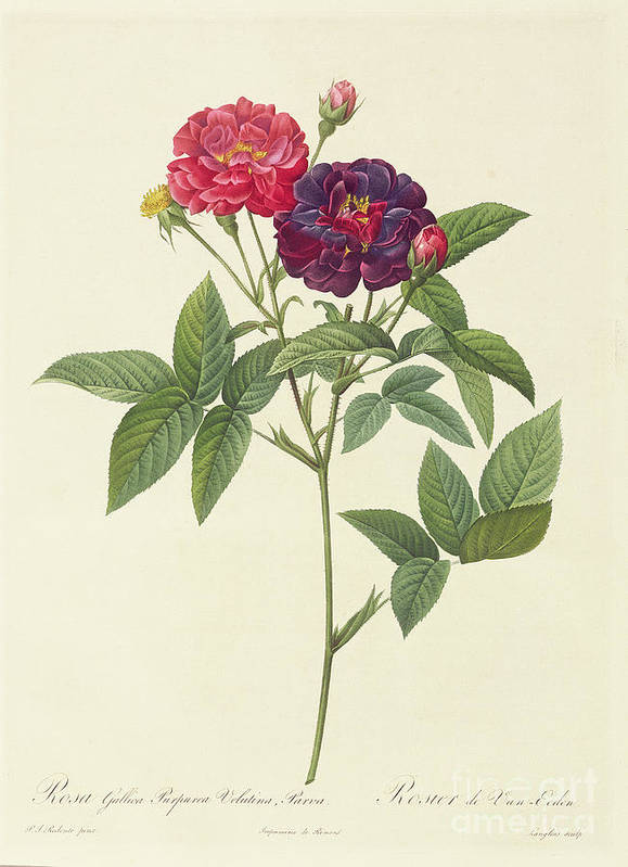 Rosa Art Print featuring the drawing Rosa Gallica Purpurea Velutina by Pierre Joseph Redoute