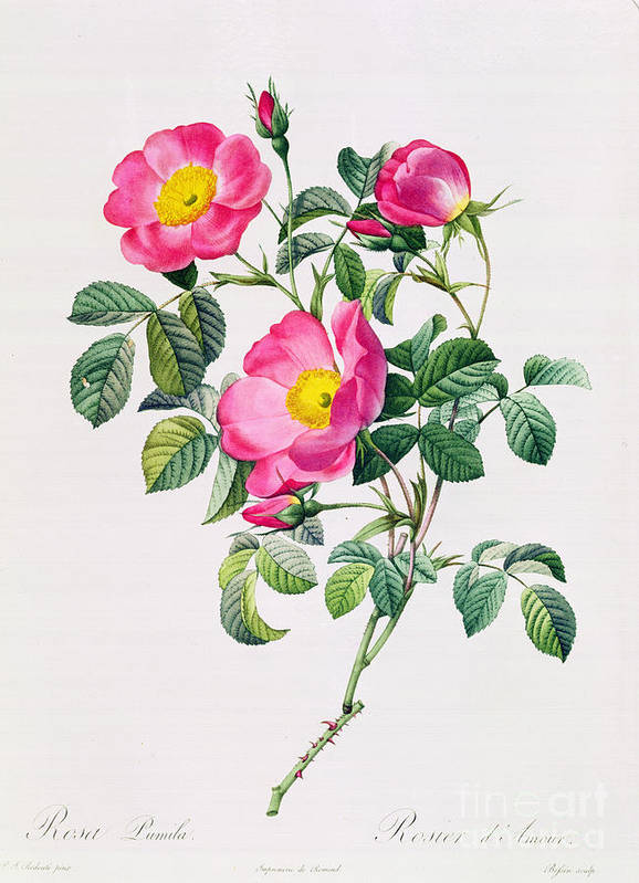 Rosa Print featuring the drawing Rosa Lumila by Pierre Joseph Redoute