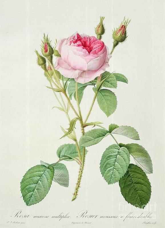 Rosa Art Print featuring the drawing Rosa Muscosa Multiplex by Pierre Joseph Redoute
