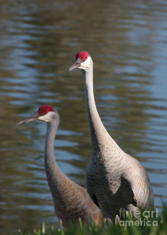 Sandhill Cranes Art Print featuring the photograph Sandhill Crane Couple By The Pond by Carol Groenen