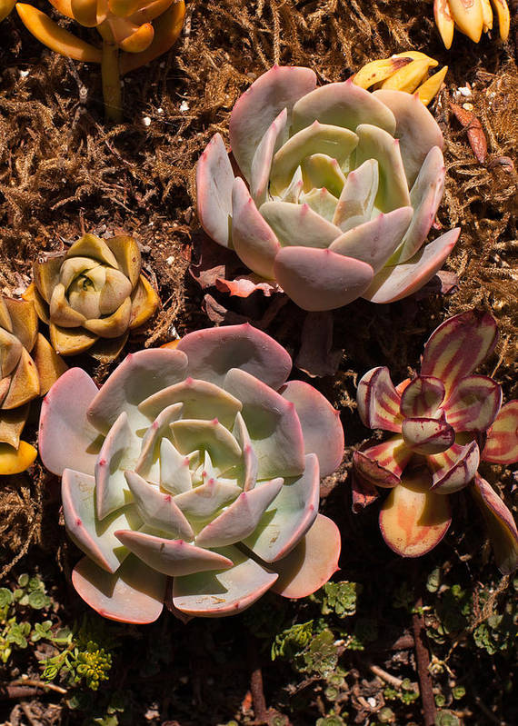 Succulents Art Print featuring the photograph Two Succulents by Catherine Lau