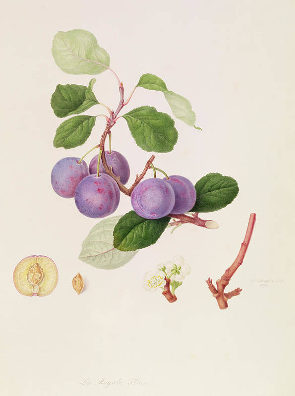 Fruit; Plums; Blossom; Branch; Leaves; Cross-section; Botanical Illustration Art Print featuring the painting La Royale Plum by William Hooker