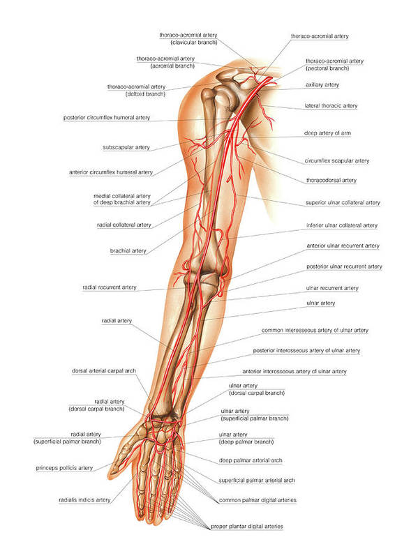 Arterial System Of The Arm Art Print by Asklepios Medical Atlas