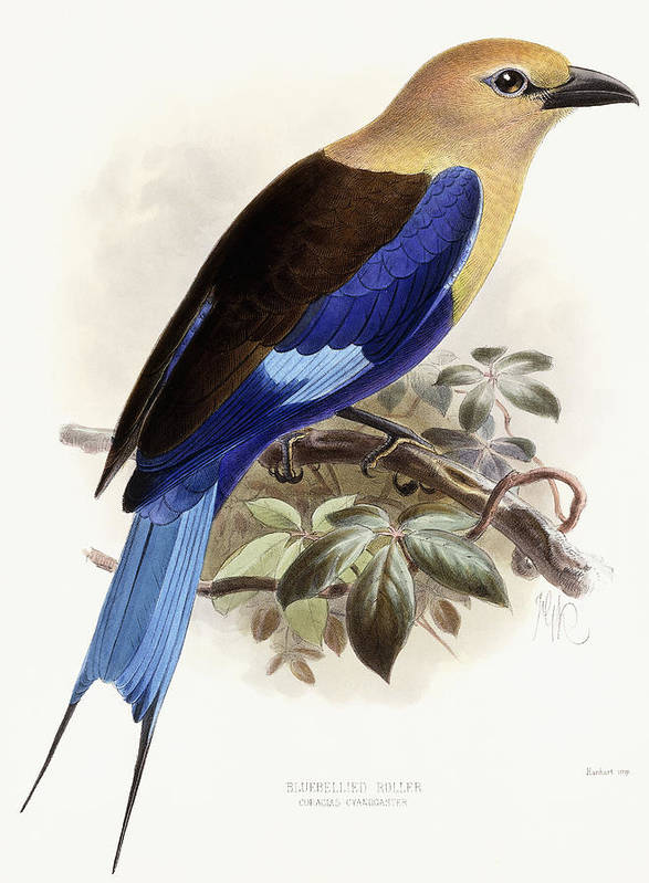 Bird Art Print featuring the painting Bluebellied Roller by Johan Gerard Keulemans