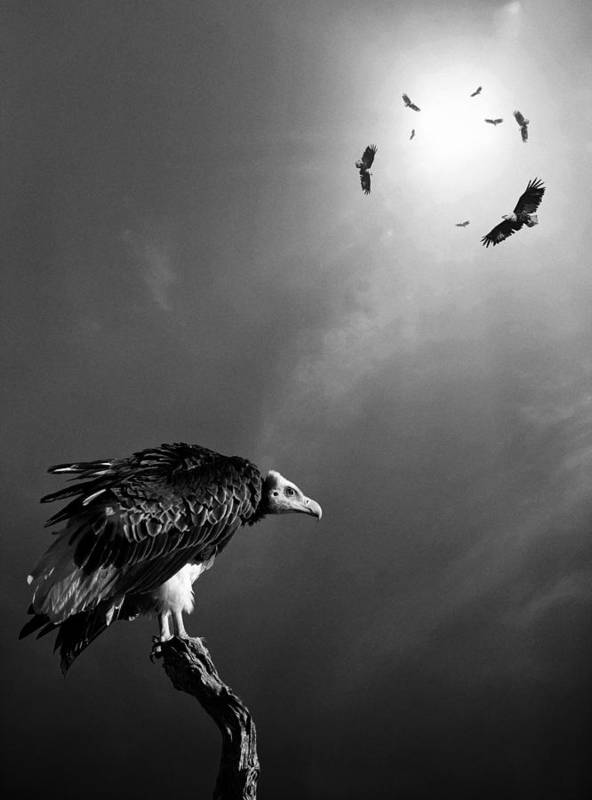 Vulture Print featuring the photograph Conceptual - Vultures Awaiting by Johan Swanepoel