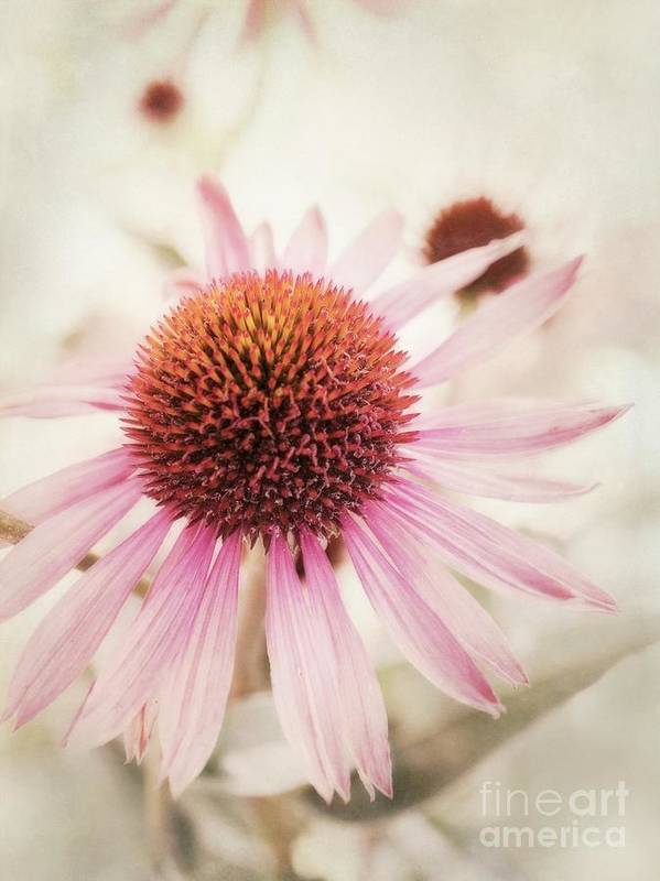 Echinacea Purpurea Art Print featuring the photograph Echinacea by Priska Wettstein