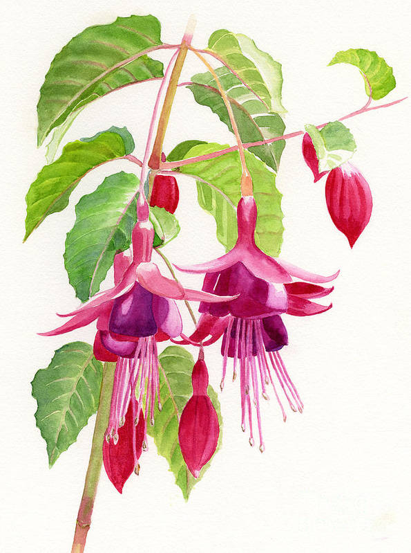 Fuchsia Art Print featuring the painting Red And Purple Fuchsias by Sharon Freeman