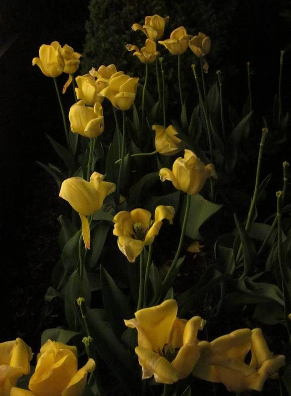 Guy Ricketts Photography Art Print featuring the photograph Sleepy Yellow Tulips Of The Silent Nocturne by Guy Ricketts