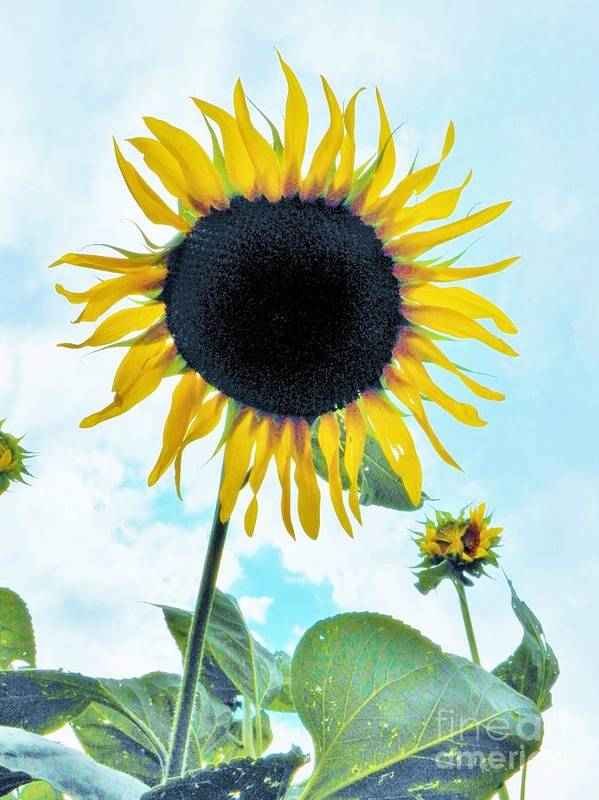 Sunflower Art Print featuring the photograph Sunflower Fields Forever One by Judy Via-Wolff