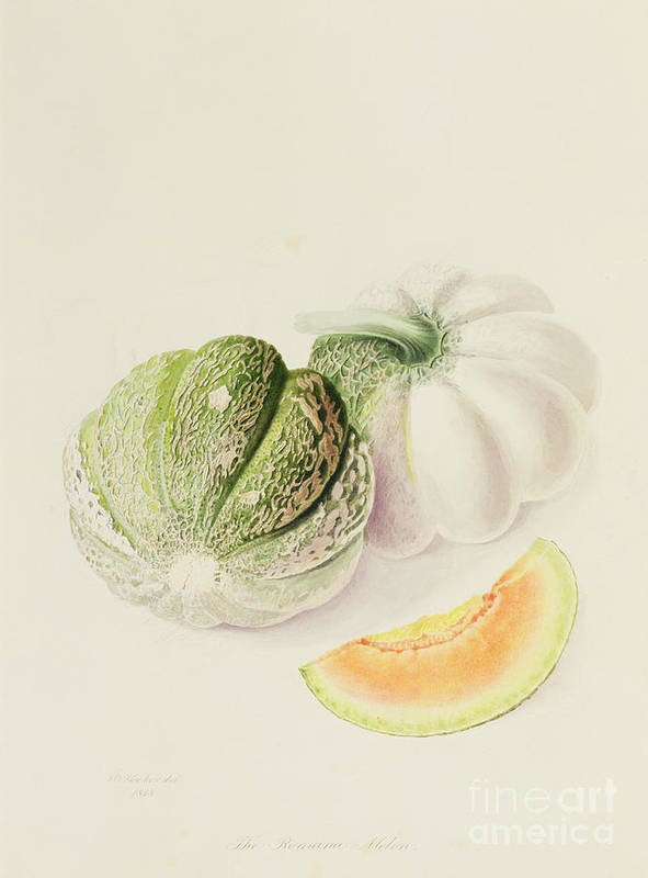 Fruit; Slice; Roman Melon; Botanical Illustration Print featuring the painting The Romana Melon by William Hooker