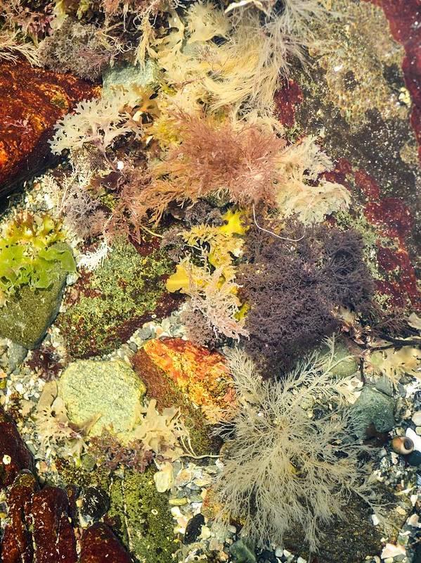 Tidal Pool. Wade Pool. Ocean. Sea. Bright Colors. Seaweed. Coral. Flame Algae. Algae. Fire Fern. Red Titan. Ocean Plants. Tidal Pool Art. Tidal Pool Photography. Wade Pool Photography. Tidal Pool Print. Tidal Pool Framed Print. Tidal Pool Metal Print. Tidal Pool Canvas Print. Tidal Pool Acrylic Print. Tidal Pool Nature Print. Tidal Pool Greeting Cards. Tidal Pool Iphone Case. Seaweed Print. Seaweed Framed Print. Seaweed Canvas Print. Seaweed Acrylic Print. Seaweed Nature. Art Print featuring the photograph Tidal Pool Color by Debbie Green