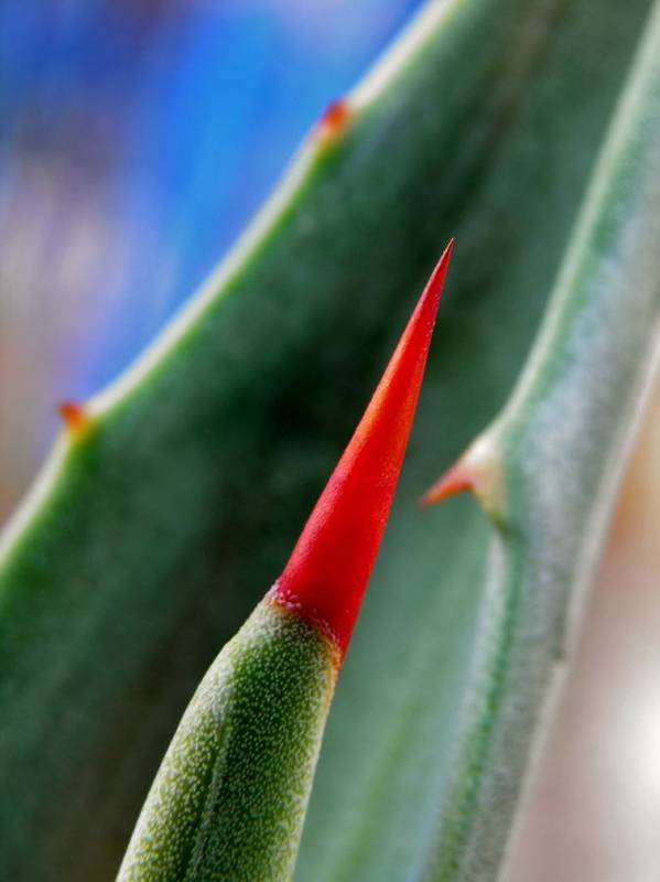 Plant; Thorns; Macro; Green; Garden; Brown; Blue; Pointy; Nature; Black; Sunlight; Dangerous; Blood; Careful; Agave; Succulent; Still Life; Red; Background; Decorative; Art Print featuring the photograph Agave Thorn by Werner Lehmann