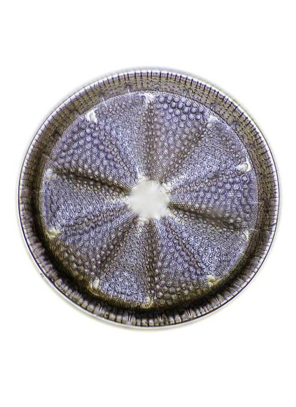 Alga Art Print featuring the photograph Fossil Diatom, Light Micrograph by Frank Fox