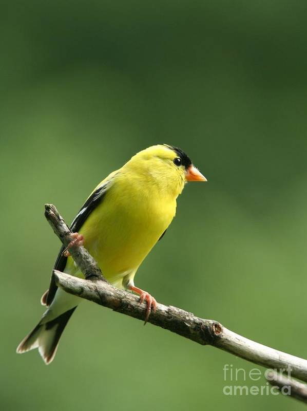 Nature Art Print featuring the photograph American Goldfinch by Jack R Brock