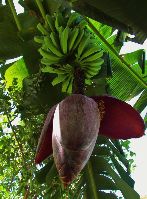 Nature Art Print featuring the photograph Banana Bloom by Robin Becker