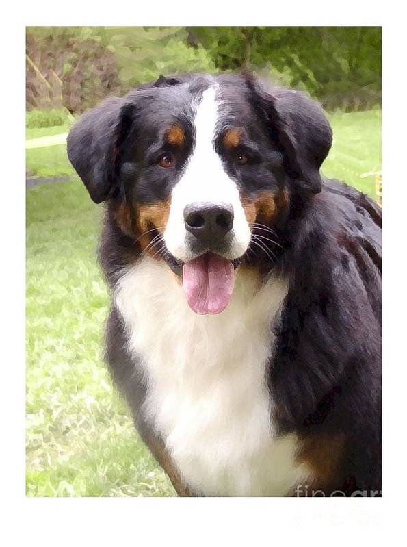 Bernese Mountain Dog Digital Art Art Print featuring the digital art Bernese Mountain Dog 399 by Larry Matthews