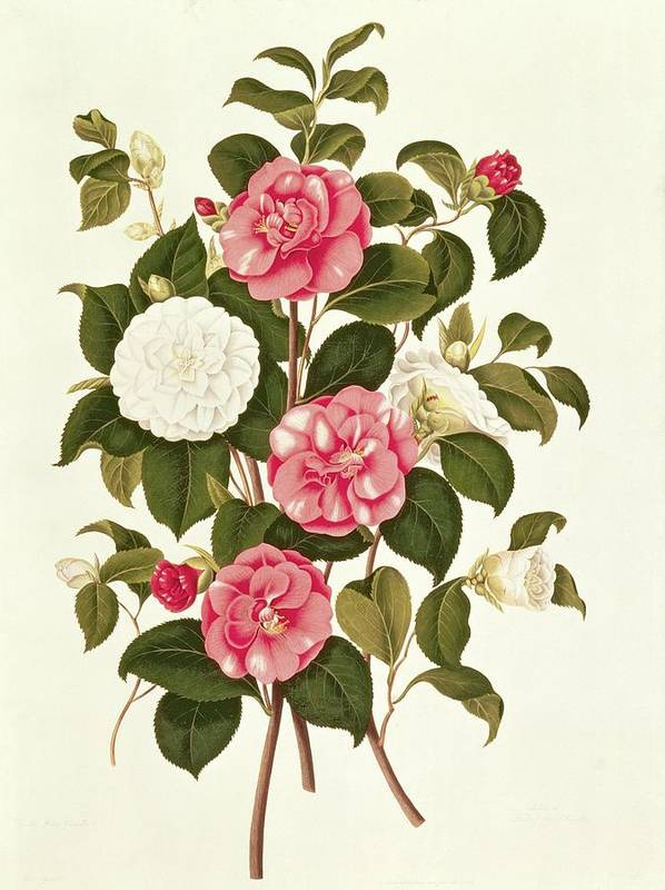 Flower Art Print featuring the painting Camellia by English School