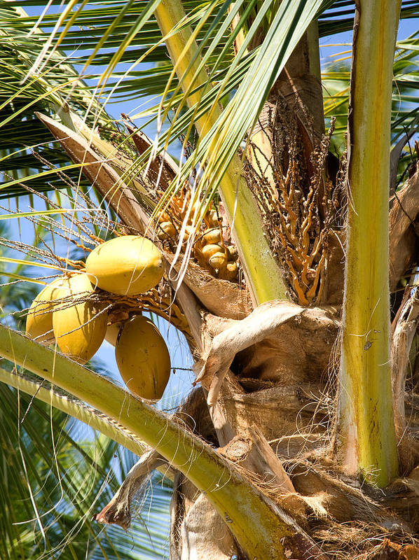 Palm Art Print featuring the photograph Coconuts 1 by Tony and Kristi Middleton