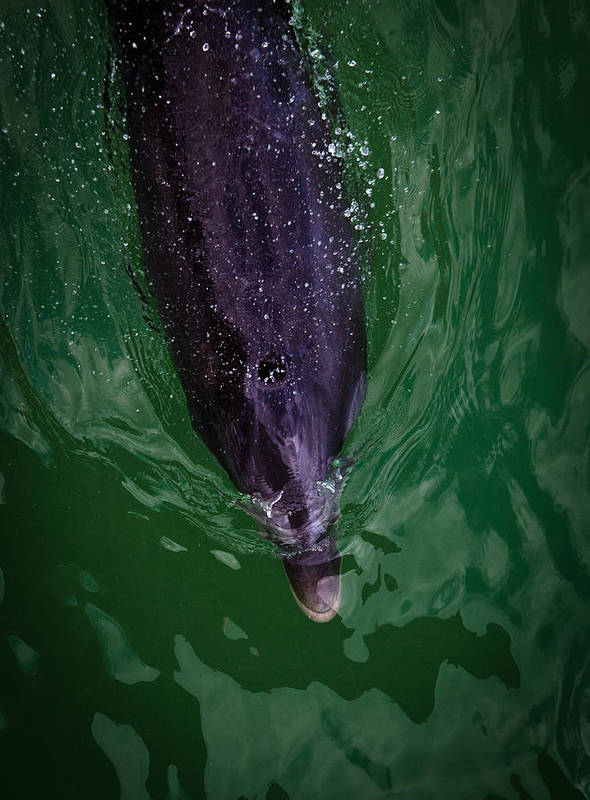 Dolphins Art Print featuring the photograph Dolphins by Mike Rivera