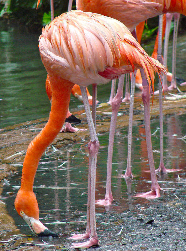 Flamingo Photo Fine Art Art Print featuring the photograph Flamingo Toe Touch by Roy Foos