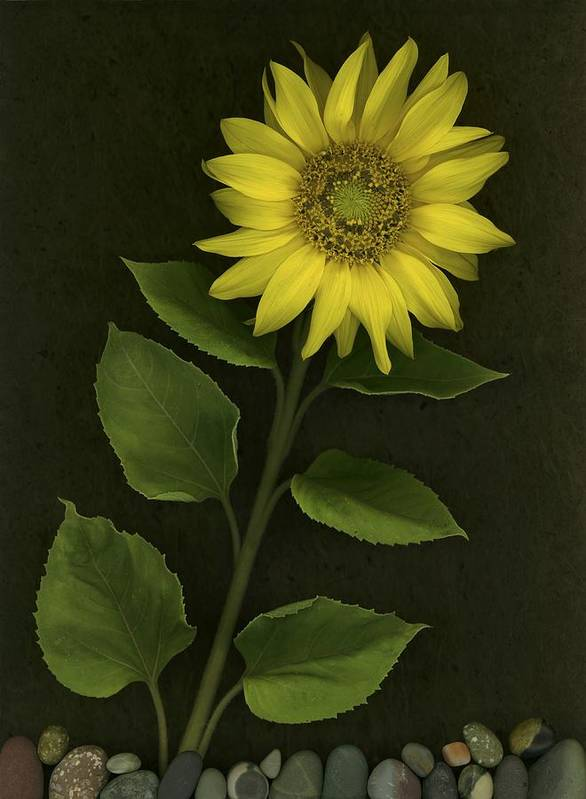 Blooming Art Print featuring the photograph Sunflower With Rocks by Deddeda