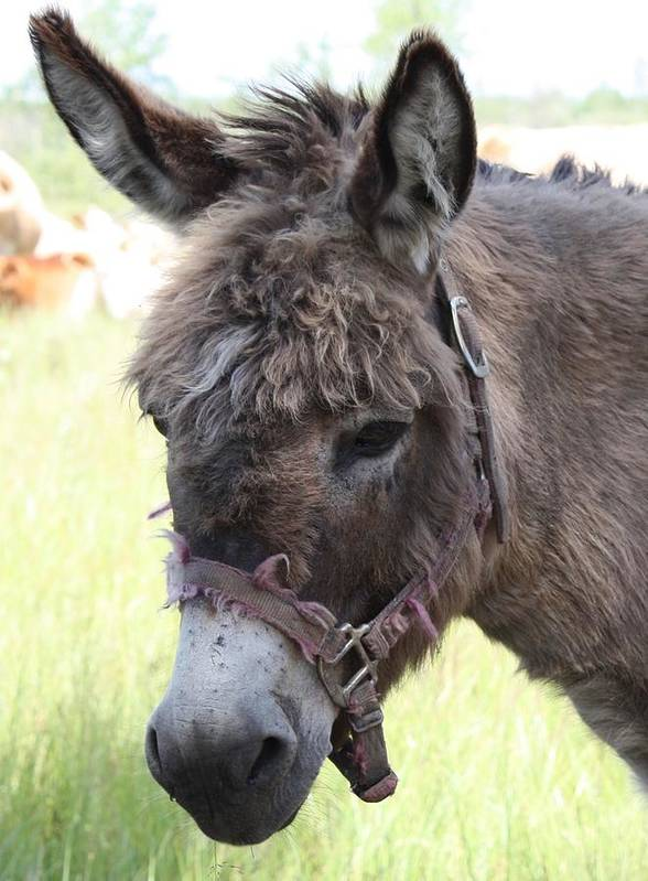 Donkey Art Print featuring the photograph Mr. Handsome by Pat Purdy