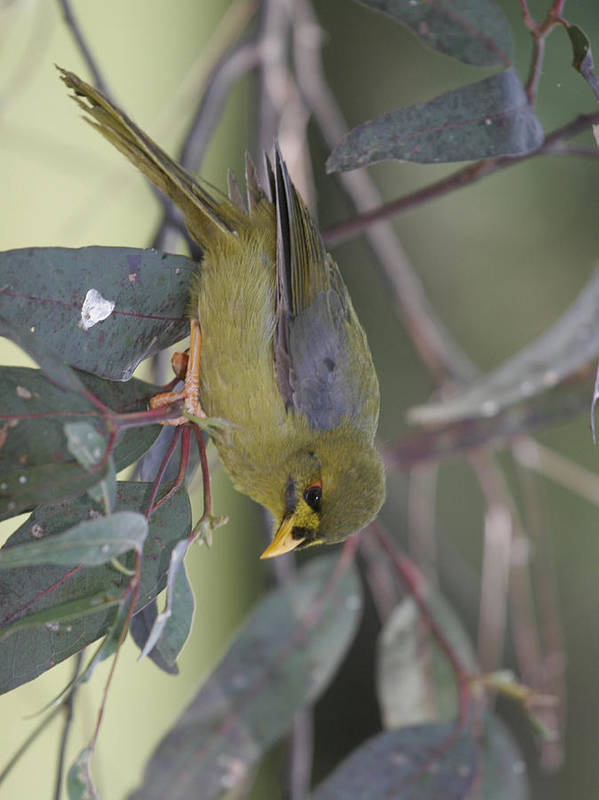 Bellbird Art Print featuring the photograph Bellbird by Masami Iida