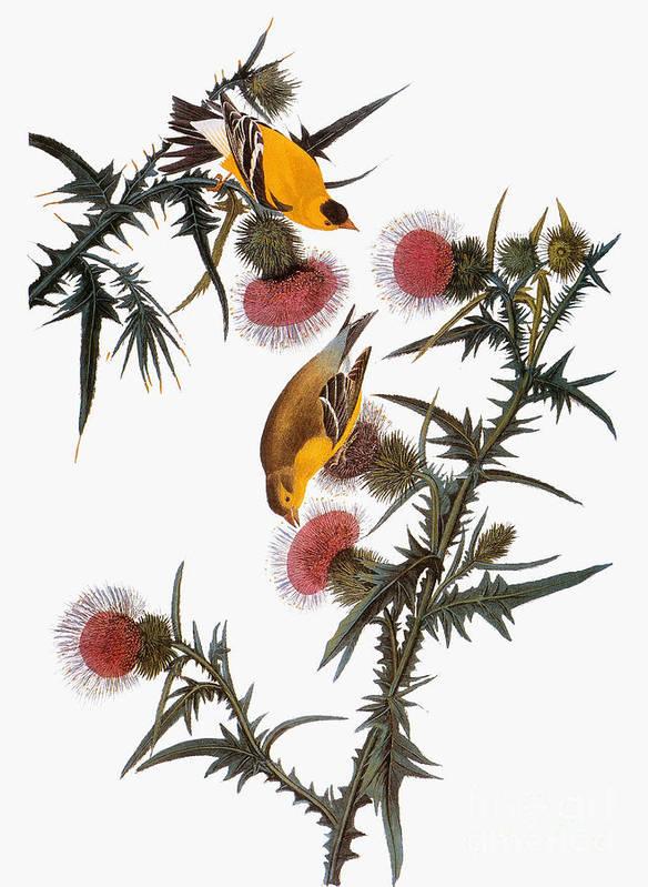 1838 Art Print featuring the photograph Audubon: Goldfinch by Granger