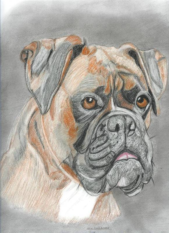 Boxer Art Print featuring the drawing Boxer by Don Gallacher