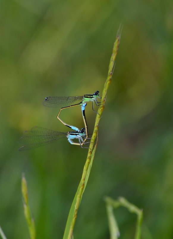 Damsels Art Print featuring the photograph Busy Damsels by Kathy Gibbons