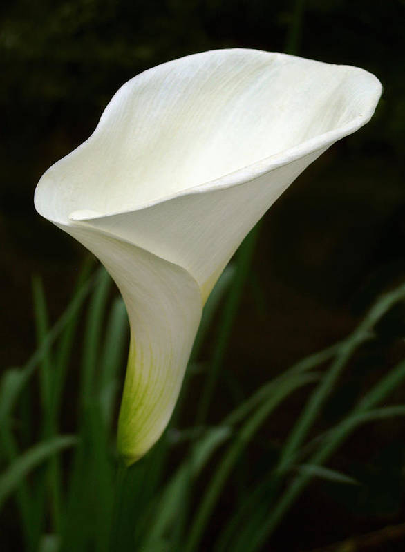 Cala Lily Art Print featuring the photograph Cala by Julie Geiss