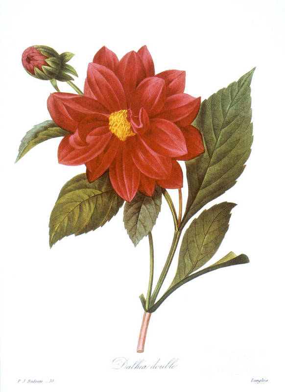 1833 Print featuring the photograph Dahlia (dahlia Pinnata) by Granger