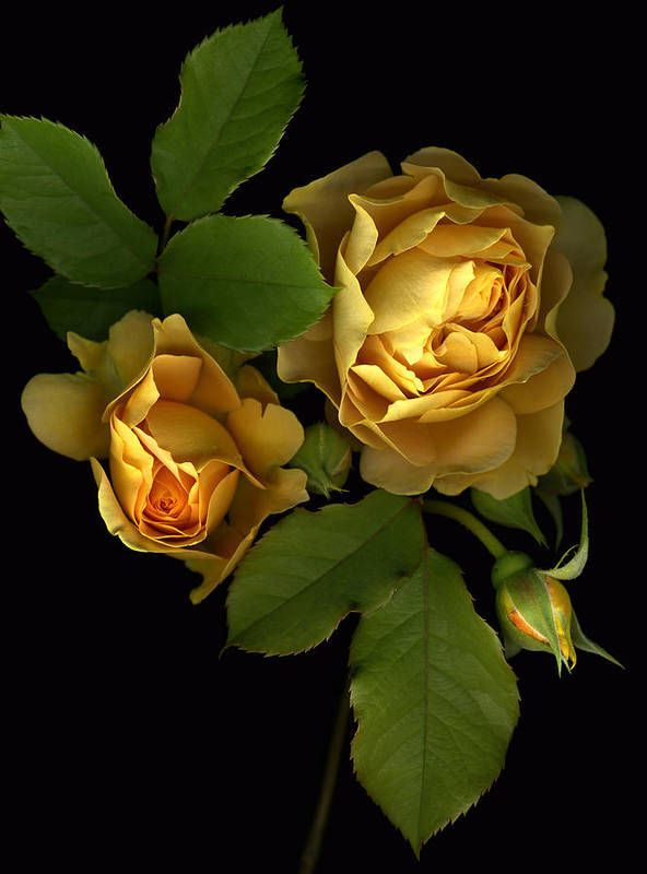 Roses Art Print featuring the photograph Forever Yellow Roses by Deborah J Humphries