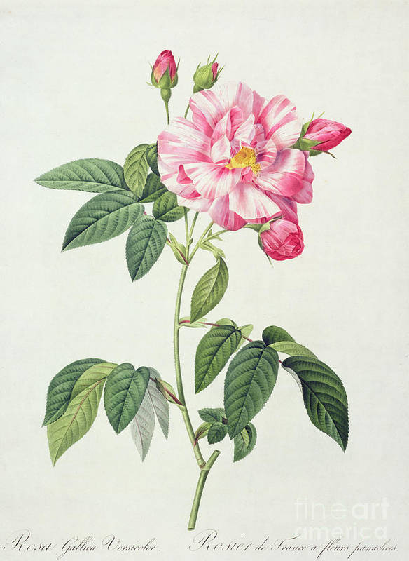 Rosa Art Print featuring the drawing French Rose by Pierre Joseph Redoute