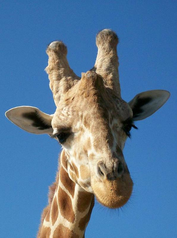 Giraffe Art Print featuring the photograph Giraffe 2 by Sara Raber