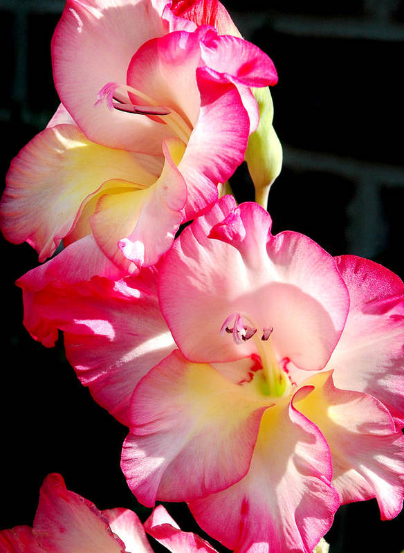 Flower Art Print featuring the photograph Gladiolas by Tony Ramos
