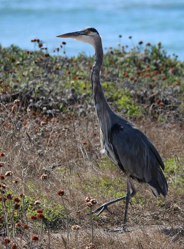 Great Blue Heron Art Print featuring the photograph Great Blue Heron - 8 by Christy Pooschke