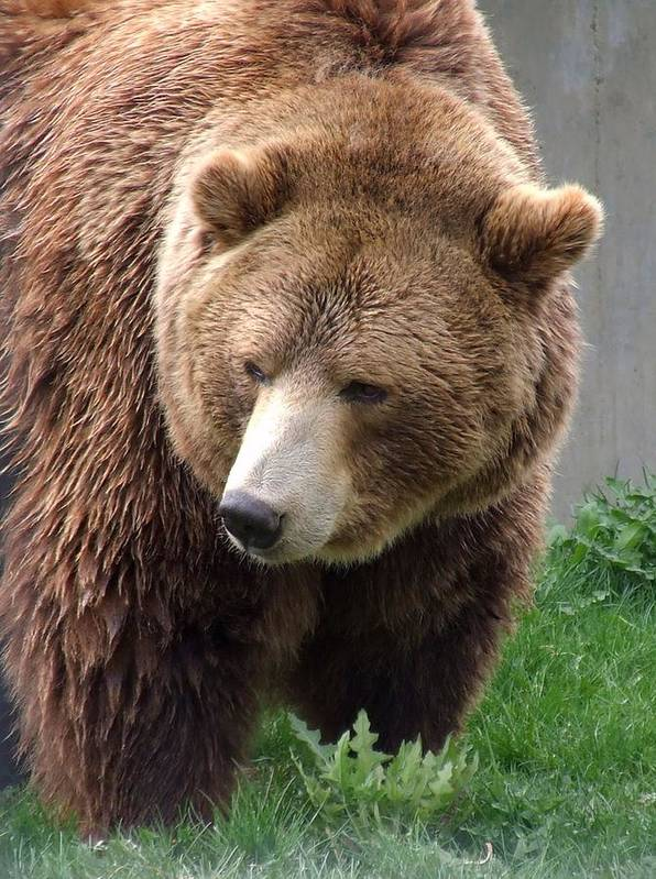 Grizzly Bear Art Print featuring the photograph Grizzly Bear by Tiffany Vest