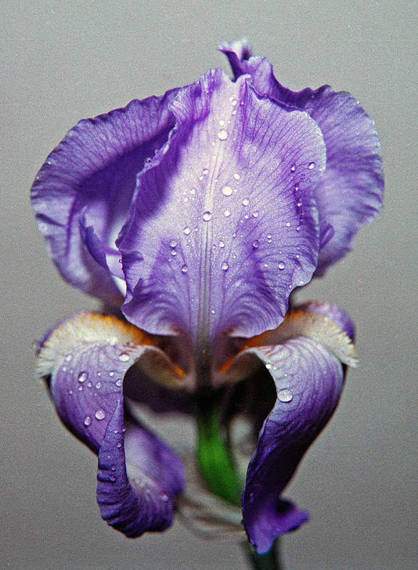 Iris Art Print featuring the photograph Iris In The Rain by Paul Trunk