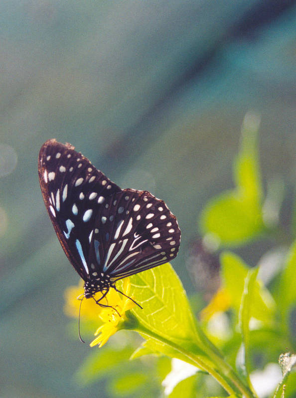Adrian Art Print featuring the photograph Malaysian Butterfly by Adrian O Brien