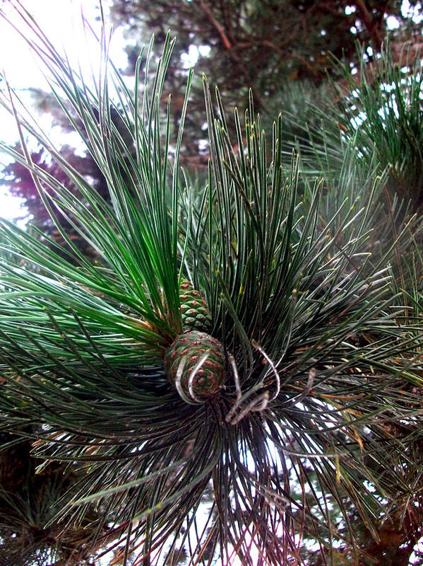 Nature Art Print featuring the photograph Pine Candle by Vah Pall