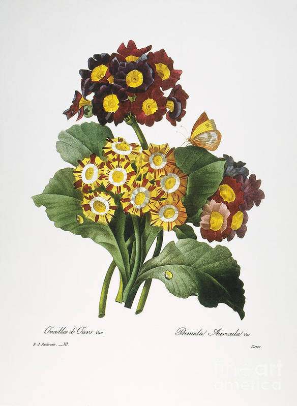 1833 Art Print featuring the photograph Redoute: Auricula, 1833 by Granger
