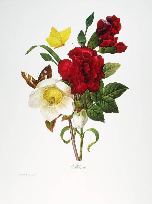1833 Print featuring the photograph Redoute: Hellebore, 1833 by Granger